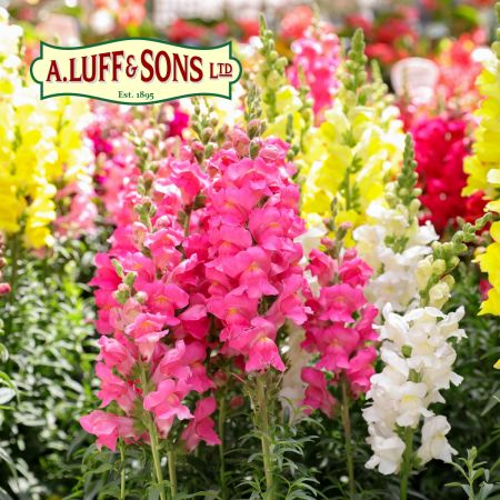 Antirrhinum Yellow