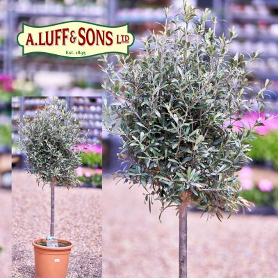 Olive Tree 60cm  Std 40/50 Head - image 1